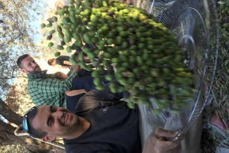 Olive harvest general  (3)-1200.jpg